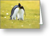 Courting Greeting Cards - King Penguins Courting In Falklands Greeting Card by Luciano Candisani