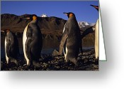 Rock Groups Greeting Cards - King Penguins On The Rocky Shore Greeting Card by Paul Sutherland