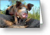 Snout Greeting Cards - King Porcus of the Barking Dog Ranch Greeting Card by Bill Kellett