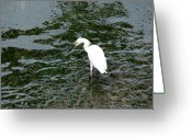 Kingston Greeting Cards - Kingston Jamaica Egret Greeting Card by Brett Winn