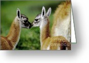 To Kiss Greeting Cards - Kissing Guanacos - Torres Del Paine NP Chile Greeting Card by Craig Lovell