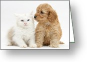 Cross Breed Greeting Cards - Kitten And Cockatoo Pup Greeting Card by Mark Taylor