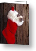 Whiskers Photo Greeting Cards - Kitten in stocking Greeting Card by Garry Gay