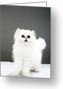 Distraught Greeting Cards - Kitten Portrait Greeting Card by Martin Poole