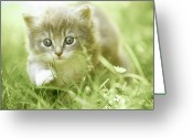 Beginnings Greeting Cards - Kitten Taking Steps In The Grass Greeting Card by Charriau Pierre