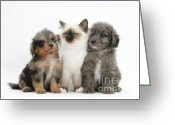 Cross Breed Greeting Cards - Kitten With Puppies Greeting Card by Mark Taylor