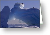 Resting Animals Greeting Cards - Kittiwakes Resting Atop An Iceberg Greeting Card by Norbert Rosing
