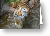 Got Greeting Cards - Kitty Got Wet Greeting Card by Ernie Echols
