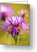 Purple Flower Greeting Cards - Knapweed flower Greeting Card by Elena Elisseeva