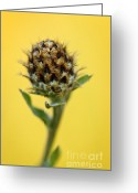Flora Greeting Cards - Knapweed plant Greeting Card by Elena Elisseeva
