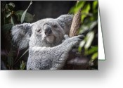 Australian Animal Greeting Cards - Koala Bear Greeting Card by Tom Mc Nemar