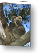 Looking At Camera Greeting Cards - Koala Phascolarctos Cinereus Mother Greeting Card by Konrad Wothe