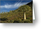Quiver Greeting Cards - Kokerboom Forest Greeting Card by Michele Burgess