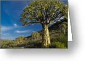 Quiver Greeting Cards - Kokerboom Greeting Card by Michele Burgess