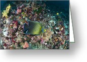 Koran Greeting Cards - Koran Angelfish Greeting Card by Matthew Oldfield