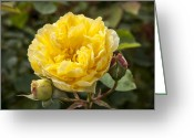 Golden Gate Park Greeting Cards - Kordes Golden Gate Rose Greeting Card by Anthony Citro
