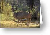 Mammal Photograph Greeting Cards - Kudu Bull - Okavango Delta Botswana Greeting Card by Craig Lovell