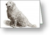 Livestock Drawings Greeting Cards - Kuvasz named Pax Greeting Card by Jack Pumphrey