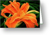 Orange Flower Photo Greeting Cards - Kwanso Lily Greeting Card by Rona Black