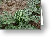 Watermelon Photo Greeting Cards - KY Watermelon Greeting Card by Amber Flowers
