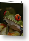 Red-eyed Frogs Greeting Cards - La Selva Station Serves As A Greeting Card by Michael Nichols