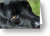 Mutt Greeting Cards - Lab mix Greeting Card by Amanda Barcon