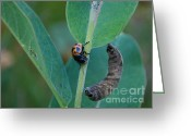 Swamp Milkweed Greeting Cards - Labidomera clivicollis Greeting Card by Janelle Streed