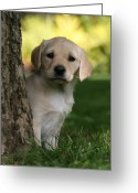 Yellow Dog Greeting Cards - Labrador (canis Lupus Familiaris) Puppy Behind Tree, Uk Greeting Card by Nick Ridley