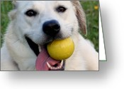 Creme Greeting Cards - Labrador cross Husky Greeting Card by Abbie Shores