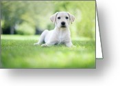 Animal Portrait Greeting Cards - Labrador Puppy In Uk Garden Greeting Card by Images by Christina Kilgour