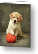 Animal Portrait Greeting Cards - Labrador Puppy With Red Ball Greeting Card by Sergey Ryumin