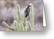 Desert Greeting Cards - Ladder Backed Woodpecker Resting On Ganders Cholla Greeting Card by Photo by Patricia Ware