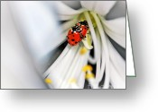 Beetles Greeting Cards - Lady Beetles in Love Greeting Card by Kaye Menner