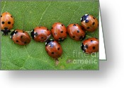 Survivor Greeting Cards - Lady Bugs Playing Survivor Greeting Card by Bob Christopher
