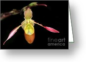 Florida Flowers Greeting Cards - Lady Slipper Orchid Greeting Card by Sabrina L Ryan