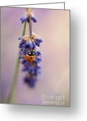 Antenna Greeting Cards - Ladybird and Lavender Greeting Card by John Edwards