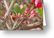 Spring Photo Greeting Cards - Ladybug and Crabapple Greeting Card by Rona Black
