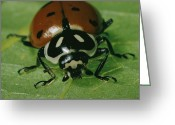 Chromatic Greeting Cards - Ladybug Hippodamia Convergens Greeting Card by Robert Sisson