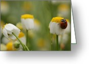 Starlet Greeting Cards - Ladybug On Starlet Greeting Card by Alon Meir