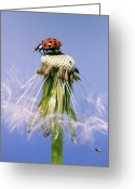 Dandelion Pyrography Greeting Cards - Ladybugs Dandelion Greeting Card by Falko Follert