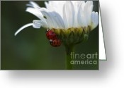 Beetles Greeting Cards - Ladybugs on Shasta Daisy Greeting Card by Sharon  Talson