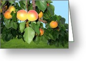 Apricots Photo Greeting Cards - Lake Country Apricots Greeting Card by Will Borden