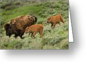Three Animals Greeting Cards - Lamar Valley Mini Stampede Greeting Card by Photo by DCDavis