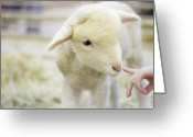 Human Hand Greeting Cards - Lamb At Denver Stock Show Greeting Card by Anda Stavri Photography
