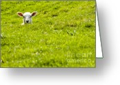 Cuddly Greeting Cards - Lamb In A Dip Greeting Card by Meirion Matthias