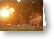 Grass Greeting Cards - Lamb Of God Greeting Card by Robert Lang Photography