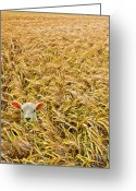 Farming  Greeting Cards - Lamb With Barley Greeting Card by Meirion Matthias