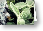 Fairies Greeting Cards - Lambs Ear Stachys byzantina Greeting Card by Laura Pineda