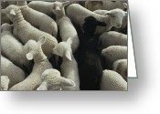 Standing Out From The Crowd Greeting Cards - Lambs In A Pen Seen From Above Greeting Card by Joel Sartore
