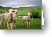 Livestock Greeting Cards - Lambs In Wyoming Greeting Card by Danielle D. Hughson